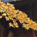 平林寺の黄葉
