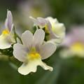 Photos: 我が家の花壇に咲く花2