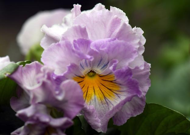 我が家の花壇に咲いている花3