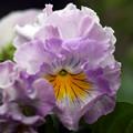Photos: 我が家の花壇に咲いている花3