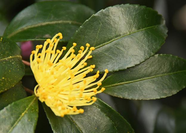 山茶花の秋暮る