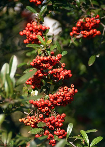 ピラカンサの果実