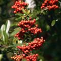 Photos: ピラカンサの果実