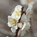 Photos: 気品に満ちた白い花