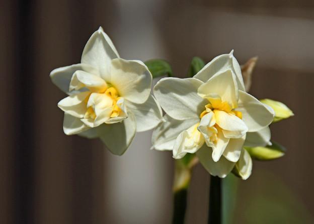 八重咲水仙