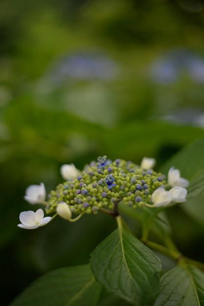 写真: 今年の紫陽花