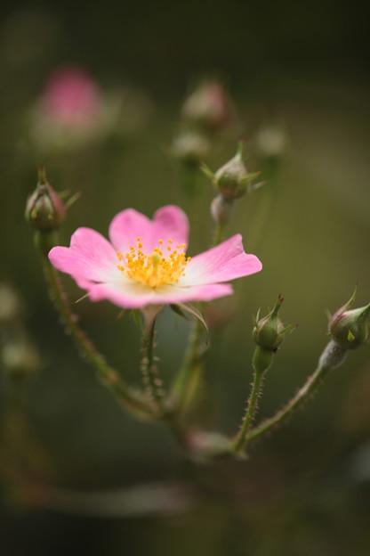 戸田市内BZ花壇のバラ
