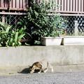 写真: 猫撮り散歩2218