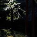 森の中の桜