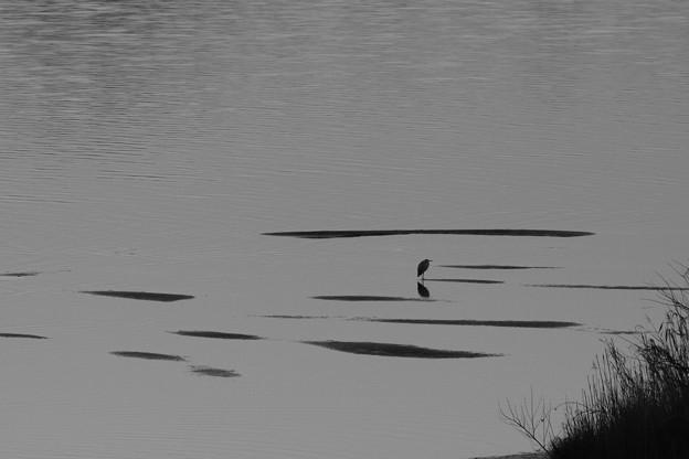 浅瀬に佇む鷺