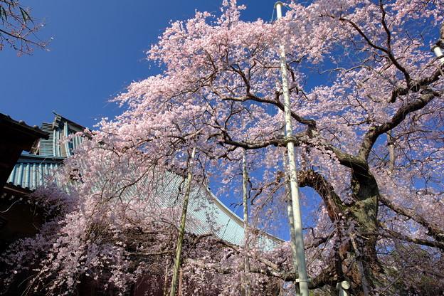Photos: 般若院 枝垂桜