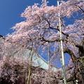 写真: 般若院 枝垂桜