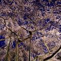 写真: 妖艶桜