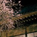写真: 桜と菊