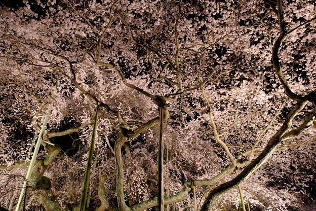 写真: 繚乱桜