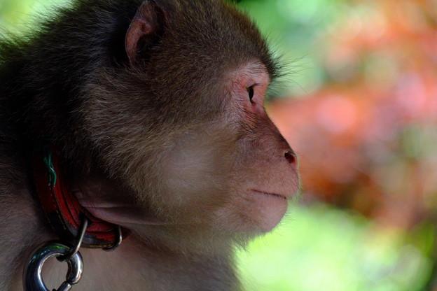 猿の凛々しい横顔