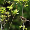 写真: 若葉と雀