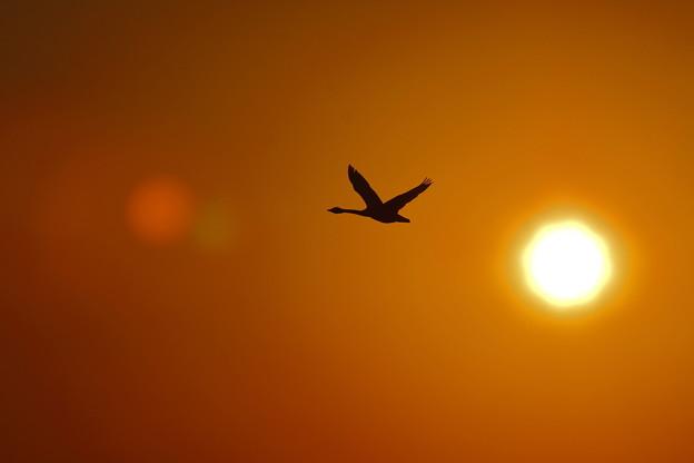 夕陽に白鳥