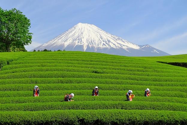 大淵笹場 富士山と茶娘