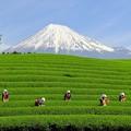 Photos: 大淵笹場 富士山と茶娘