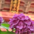 Photos: 雨引山 あじさい祭