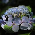 三枚の装飾花