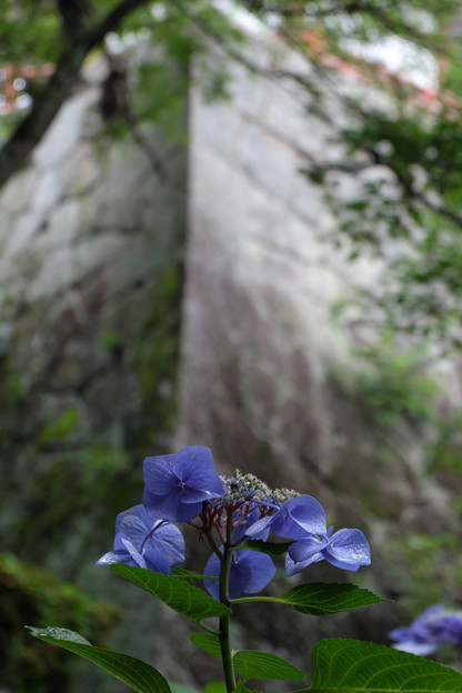 Photos: 紫陽花と石垣