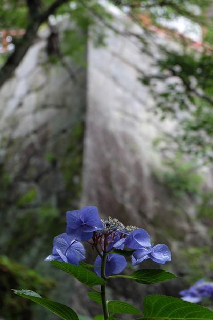 紫陽花と石垣