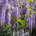 紫の花飾り