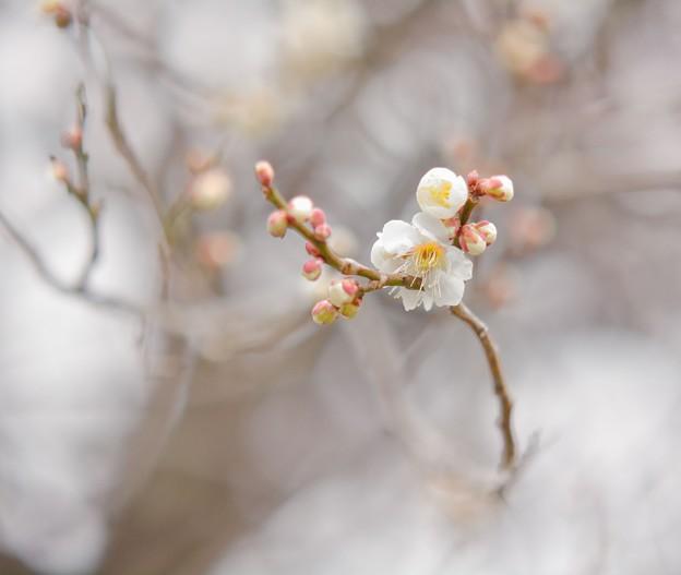 Photos: 梅のにほひにめぐりくる