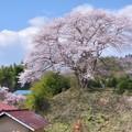 写真: 芹沢一里桜