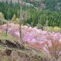 写真: 桜 峠