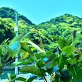 アコー樹木の若葉と岩戸山