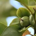 写真: 青い果実