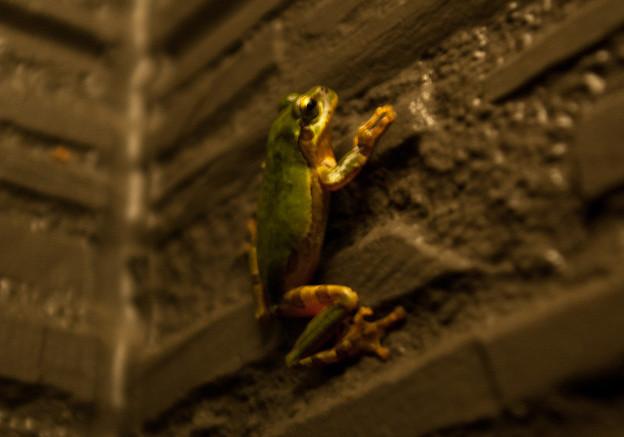 壁登りの蛙