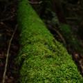 写真: 苔-倒木