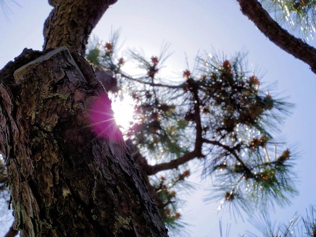 おじいちゃん家の松の木