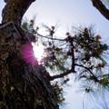Photos: おじいちゃん家の松の木