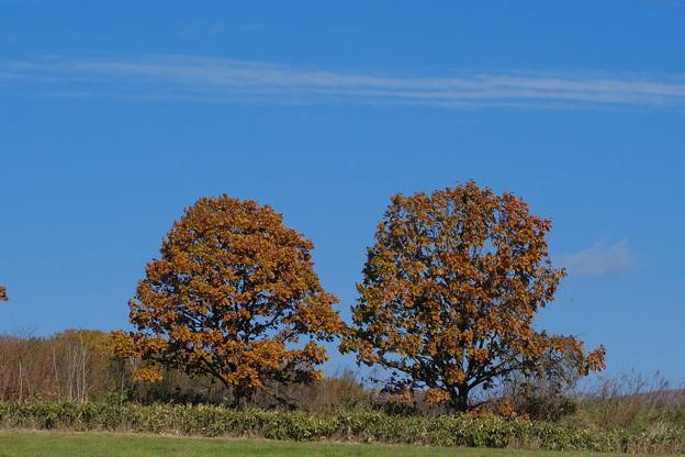 Photos: 双子の木
