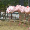 写真: 動物園のフラミンゴ@京都20160403