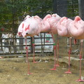 Photos: 動物園のフラミンゴ@京都20160403