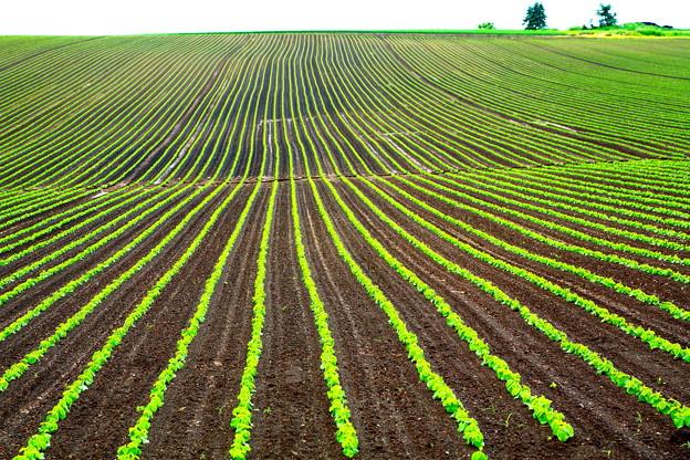 雨上がりの大豆畑