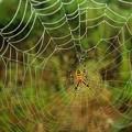 朝露に濡れた蜘蛛