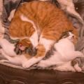 写真: 海老反りの猫