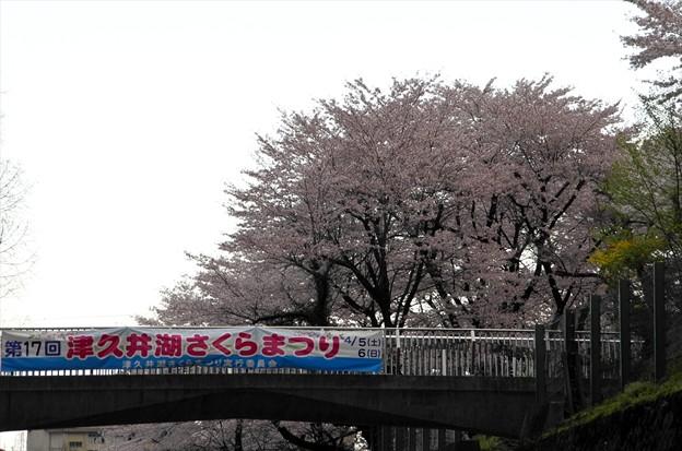 津久井湖さくら祭り01「天気 イマイチ」