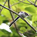 シマエナガ 幼鳥