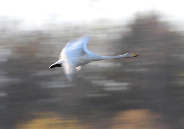 流し撮り 白鳥-2