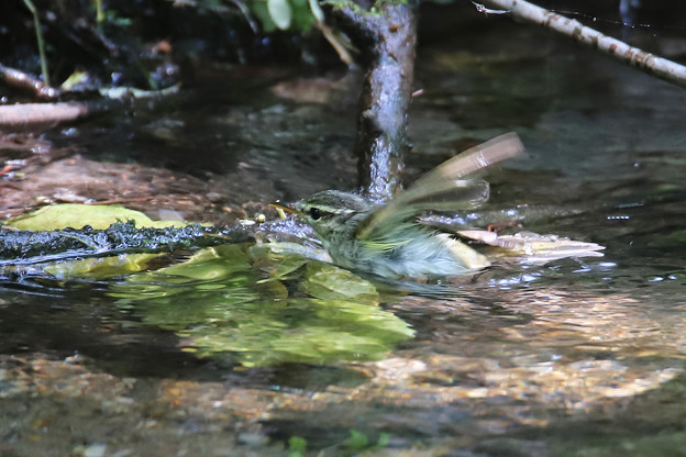 センダイムシクイ  水浴び (1)