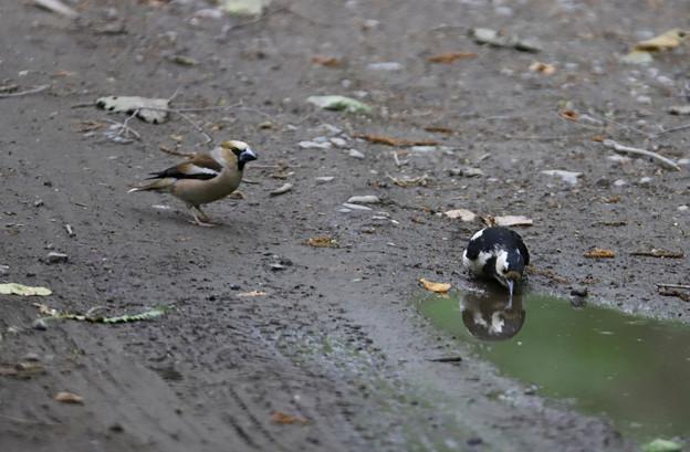 アカゲラ  幼鳥とシメ
