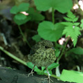 コルリ 幼鳥